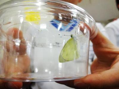 P3(小3)【理科】チョウになったよ