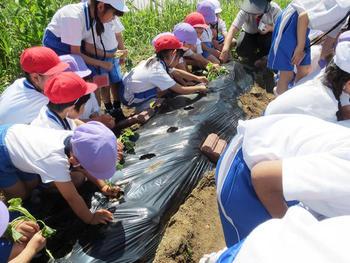 PP2(年中児)とP2(小学2年)生でサツマイモ植え