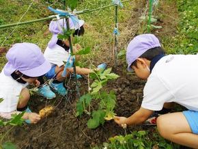 PP2年中組が、夏野菜を植えました