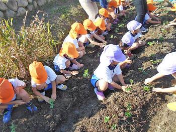 畑にエンドウ豆と苺を植えました