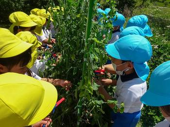 エンドウ豆の収穫